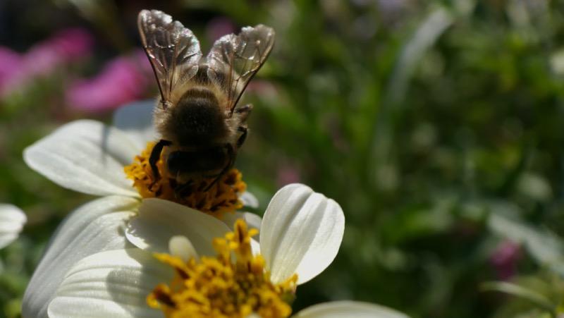 Macro de fleur avec une abeille