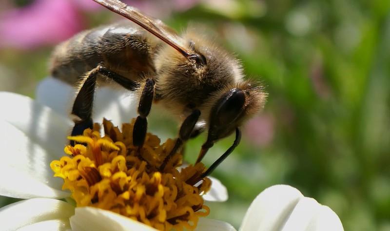 Macro de fleur avec abeille